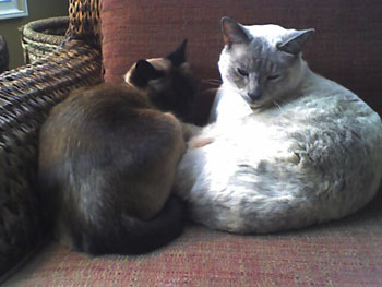 domestic short hair,domestic long hair,cat,kitten,dsh,dsl,cat care,cat sitter,tabby cat,tiger stripe cat,siamese cat